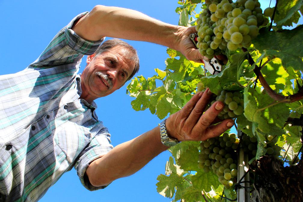 Weinlese 2014 – Franz beim Schnitt