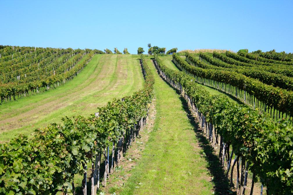 Weinlese 2014 – Weingarten 1