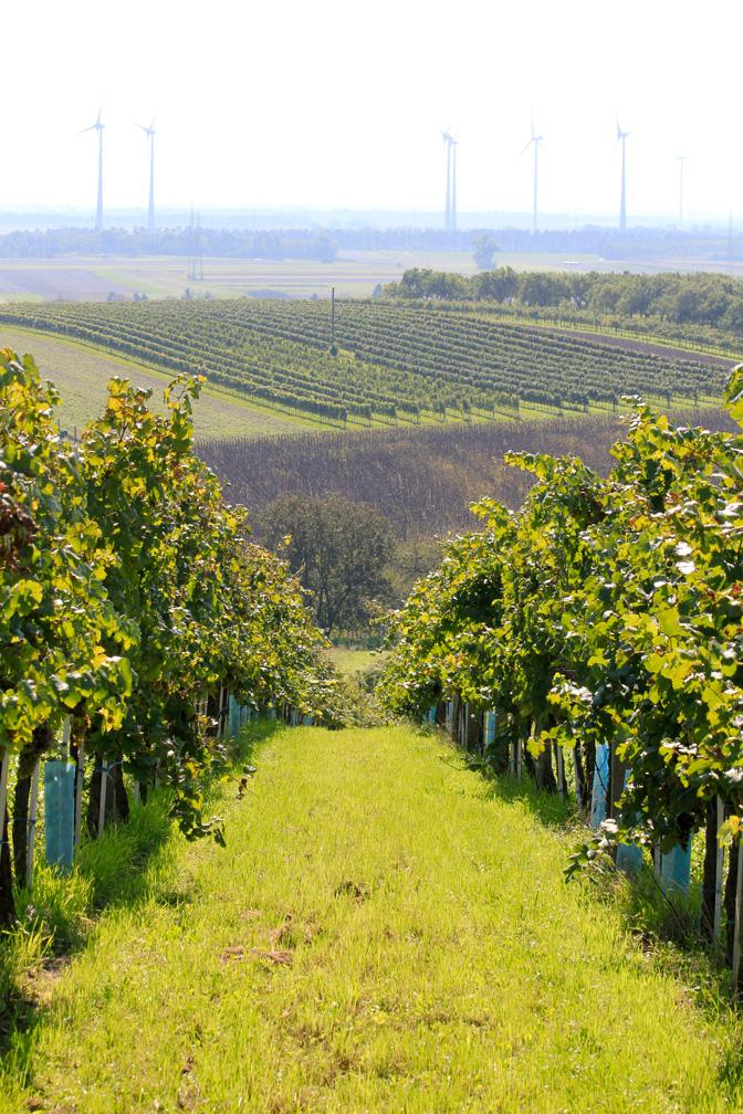 Weinlese 2014 – Weingarten 2