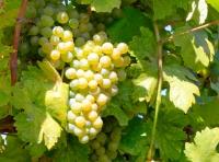 Weinlese 2014 – Weintraube