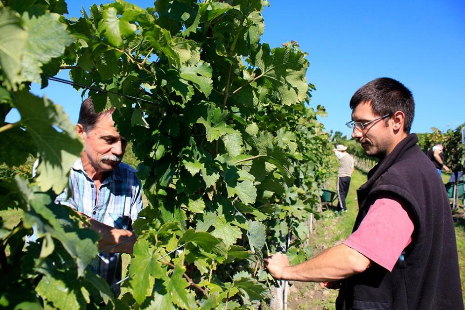 Franz und Daniel Hirschbüchler bei der Weinlese 2014